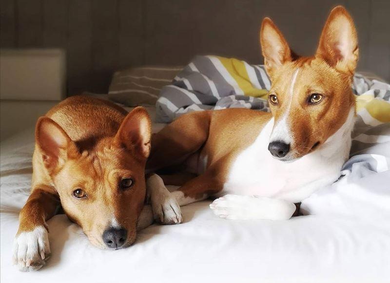 Отзыв хозяина, который отдал породистого басенджи бесплатно - пара собак на кровати
