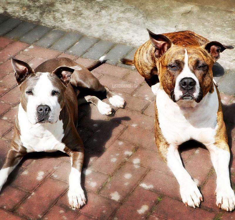 Собаки, которых любят французы: самые популярные породы во Франции - Американский стаффордширский терьер