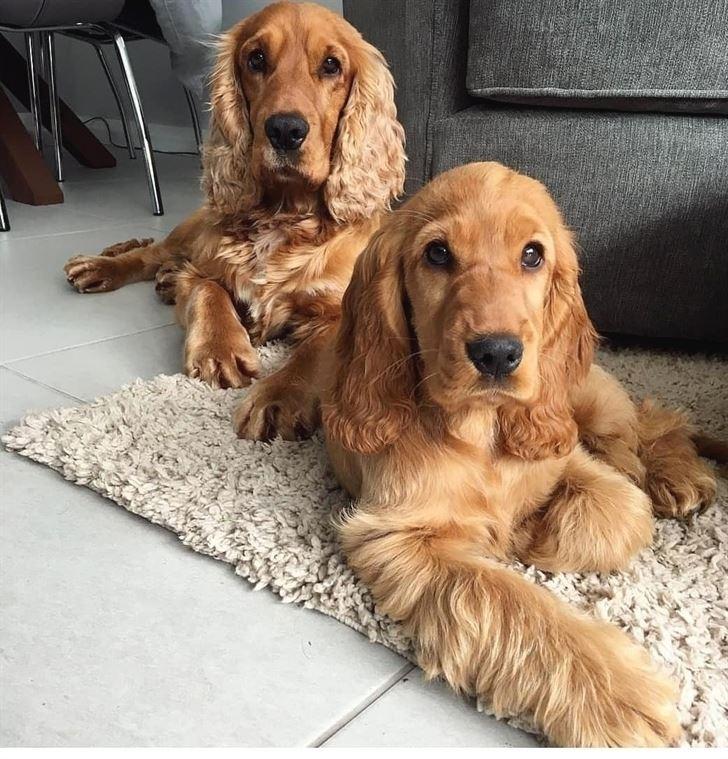 Собаки, которых любят французы: самые популярные породы во Франции - Английский кокер-спаниель