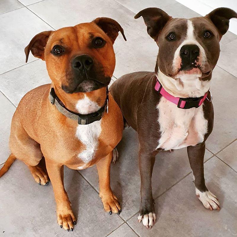 Собаки, которых любят французы: самые популярные породы во Франции - Английский стаффордширский бультерьер