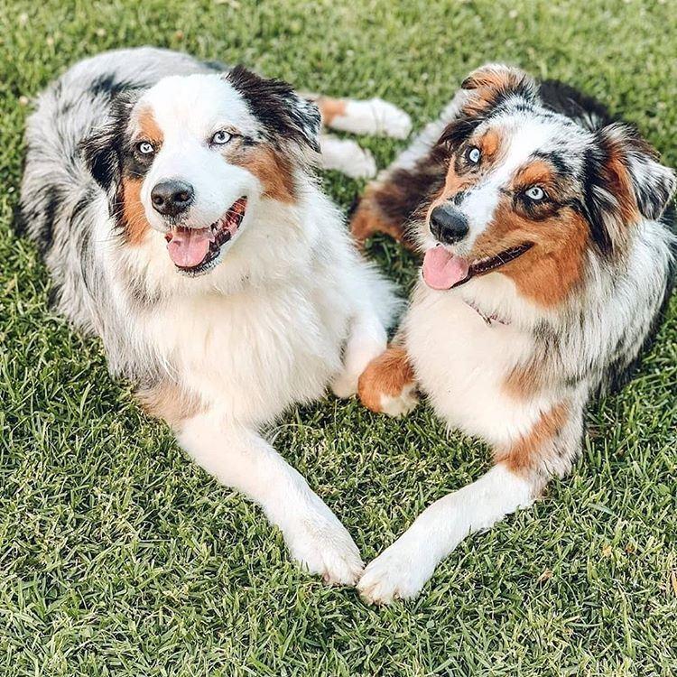 Собаки, которых любят французы: самые популярные породы во Франции - Австралийская овчарка (аусси)