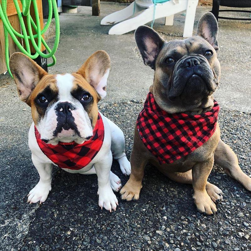Собаки, которых любят французы: самые популярные породы во Франции - Французский бульдог