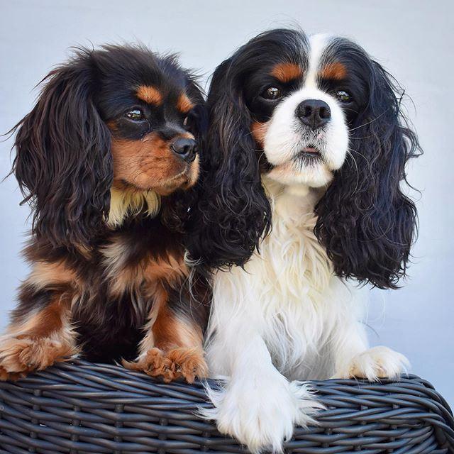 Собаки, которых любят французы: самые популярные породы во Франции - Кавалер кинг-чарльз спаниель