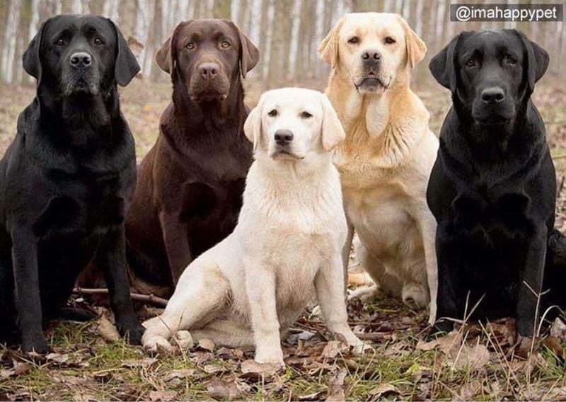Любимцы собаки британцев: топ-20 самых популярных пород в Великобритании