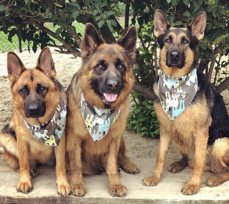 Собаки, которых любят французы: самые популярные породы во Франции - Немецкая овчарка