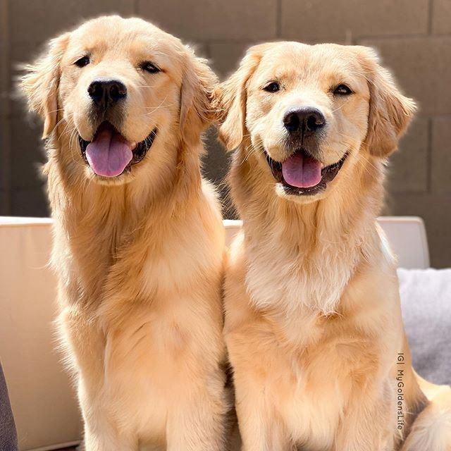 Собаки, которых любят французы: самые популярные породы во Франции - Золотистый ретривер (голден ретривер)