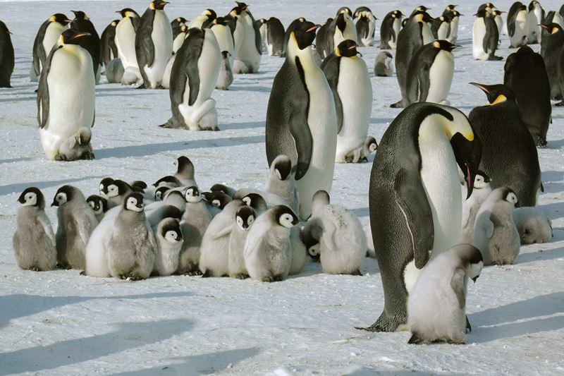 На Южный Полюс из Кейптауна: путешествие в Антарктиду - пингвины