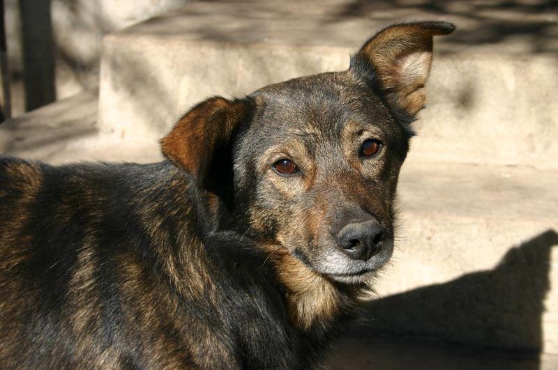 Собаки, которых не спешат забирать из приютов - дворняжка