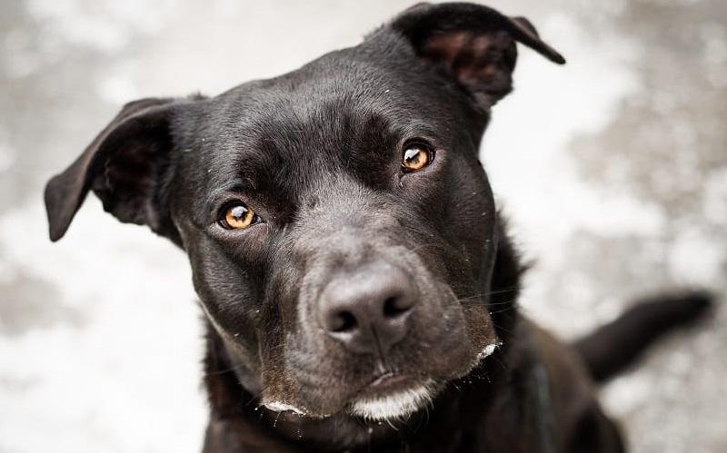 Собаки, которых не спешат забирать из приютов - питбуль