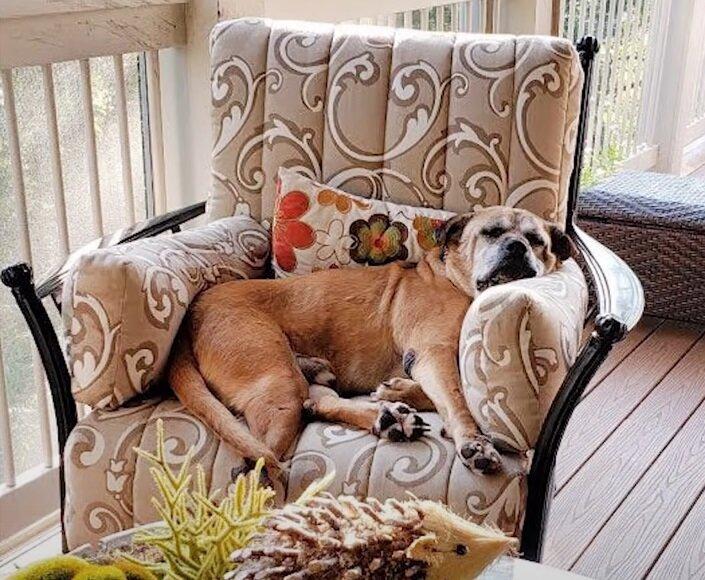 Старые некрасивые собаки приюта - Брутус в кресле