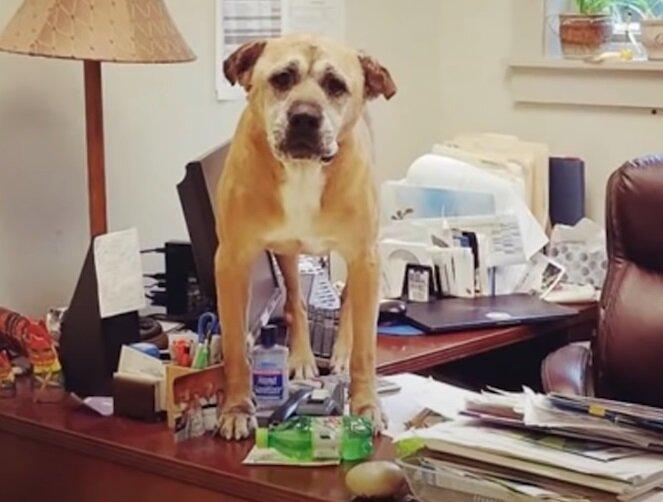 Старые некрасивые собаки приюта - Брутус на столе