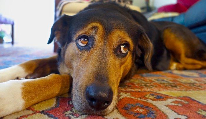 «Я не люблю свою собаку»: после ухода любимого питомца хозяйка завела другого, но разочаровалась