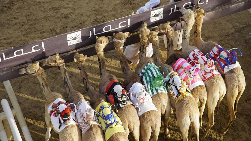 Интересные факты о Дубае - верблюжьи бега