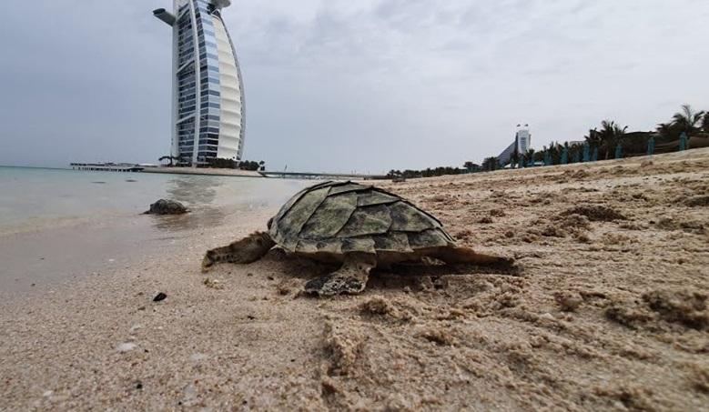 Интересные факты о Дубае - забота о черепахах