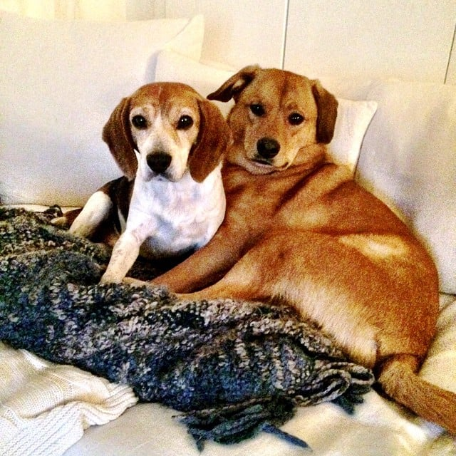 Собаки Меган Маркл - Гай и Богарт