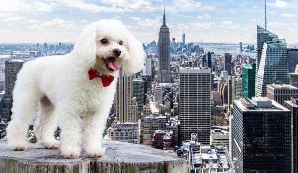 Хвост в большом городе: 5 пород собак, которых чаще всего заводят жители Нью-Йорка