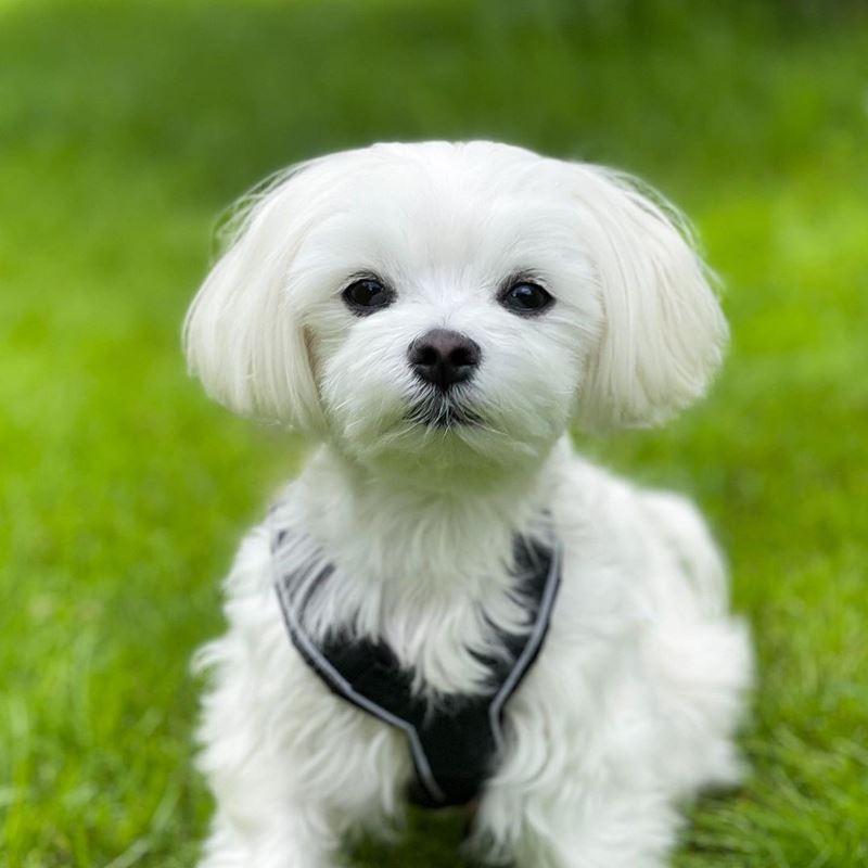 Породы собак, популярные в Нью-Йорке - мальтийская болонка