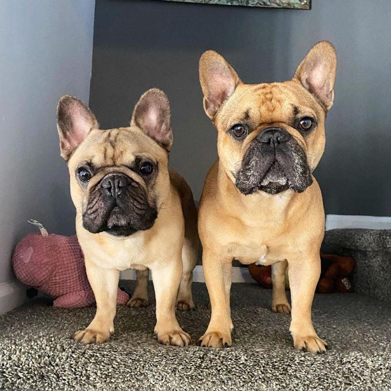 Породы собак, популярные в Нью-Йорке - французский бульдог