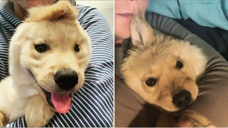 Собака-единорог ретривер с одним ухом - щенок