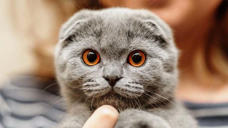Уши развесили: почему в Бельгии запрещают продажу и разведение вислоухих кошек, которых обожают во всём мире