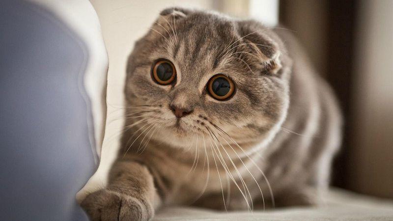Почему в Бельгии запрещают продажу и разведение вислоухих кошек, которых обожают во всём мире