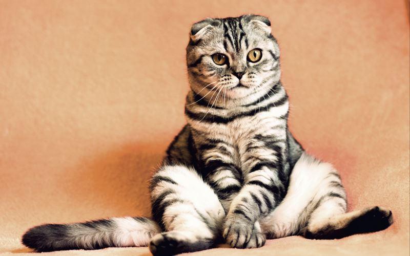 Запрет на продажу и разведение вислоухих кошек в Бельгии