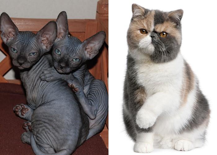 Запрет кошек в Бельгии - сфинкс и экзот