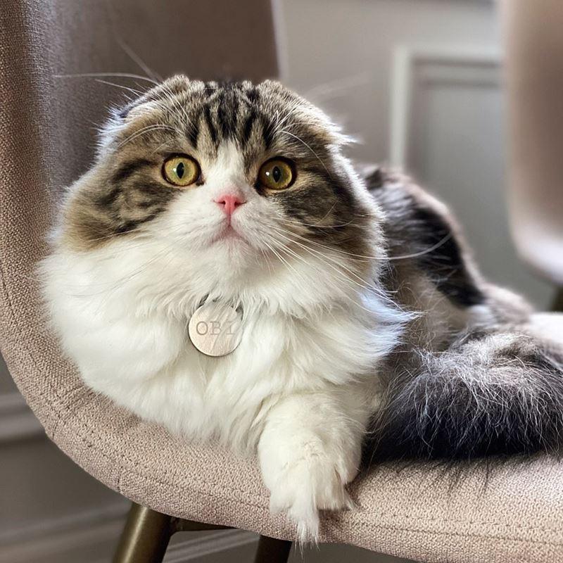 Запрет вислоухих кошек в Бельгии - длинношёрстная хайленд-фолд