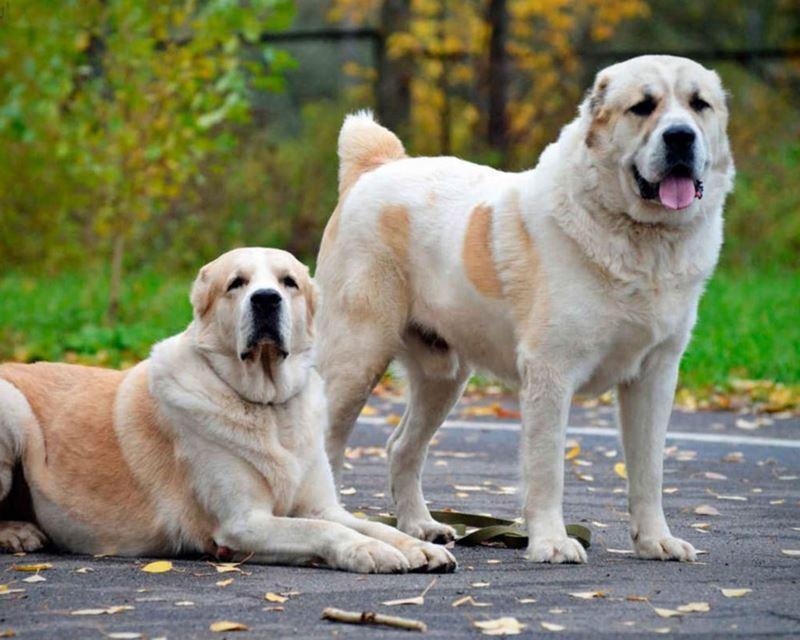 Неудобные собаки породы-отказники - алабай
