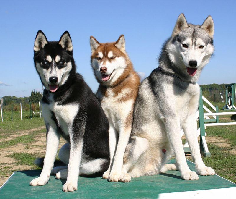 Неудобные собаки породы-отказники - сибирский хаски