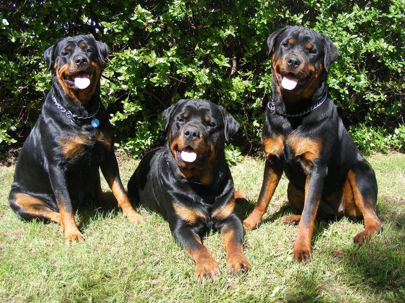 Неудобные собаки породы-отказники - ротвейлер