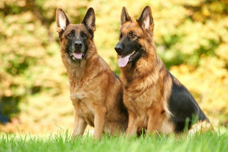 Неудобные собаки породы-отказники - немецкая овчарка