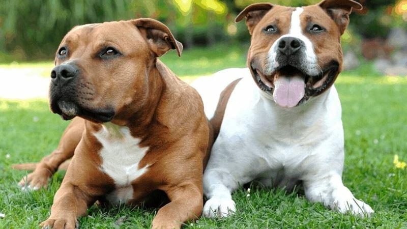 Неудобные собаки породы-отказники - амстаффы и питбуль