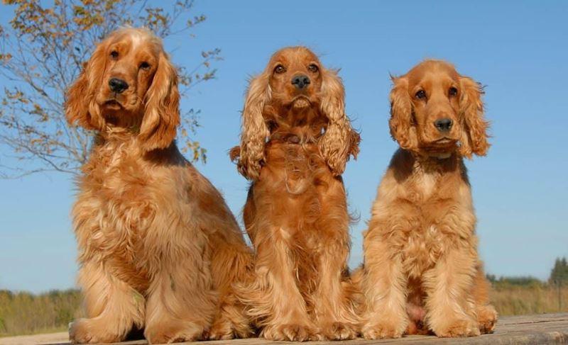 Неудобные собаки породы-отказники - спаниель