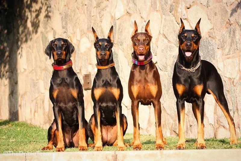 Неудобные собаки породы-отказники - доберман