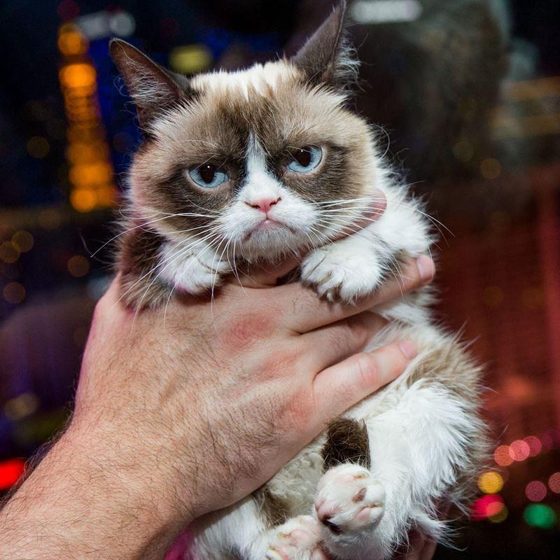 10 фактов о «сердитой кошке» Grumpy Cat - Миниатюрность и неправильный прикус