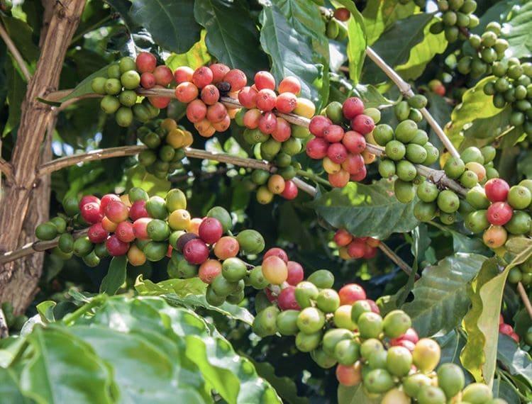 Происхождение и история кофе: кофейные зерна созревают на дереве