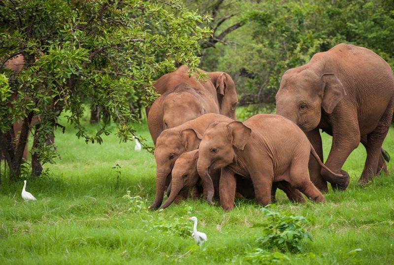 Shangri-La's Hambantota Golf Resort & Spa - слоны в национальном парке на сафари