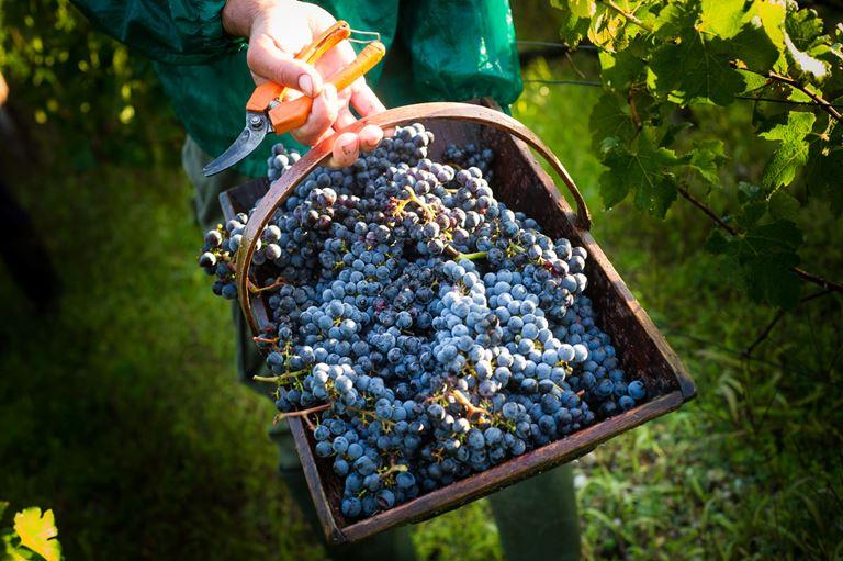 Столетнее французское вино от Château Cos d'Estournel - виноградная лоза, сбор урожая