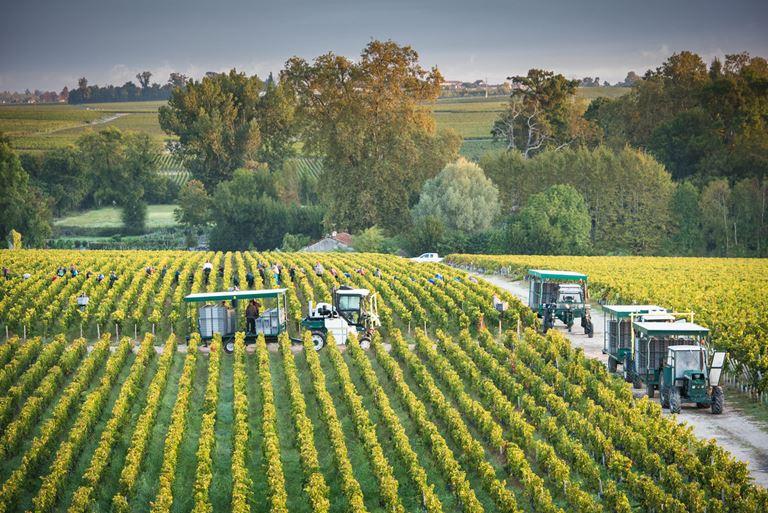Столетнее французское вино от Château Cos d'Estournel - виноградники