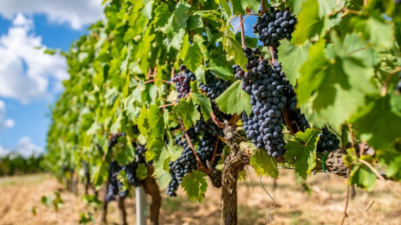 Шефство над виноградниками и оливковыми деревьями: как стать фермером в Toscana Resort Castelfalfi